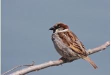 House Sparrow (Passer domesticus) - male, Svetoslav Spasov http://www.natureimages.eu/