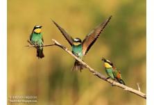 European Bee-eater, image: Iordan Hristov, danbirder.blogspot.com