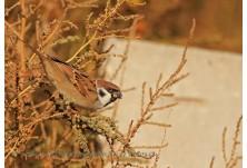 Tree Sparrow (Passer montanus)  - Nicky Petkov http://www.naturephotos.eu/
