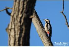 Syrian Woodpecker (Dendrocopus syriacus) - female, Svetoslav Spasov http://www.natureimages.eu/