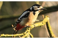 Great-spotted Woodpecker (Dendrocopus major) - female, Nicky Petkov http://www.naturephotos.eu/