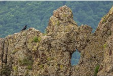 Raven, image: Iordan Hristov, www.NatureMonitoring.com