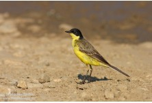 Black-headed Yellow Wagtail (Motacilla flava feldegg) - male, Svetoslav Spasov http://www.natureimages.eu