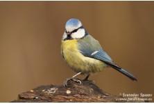 Blue Tit (Cyanistes caeruleus) Svetoslav Spasov http://www.natureimages.eu/