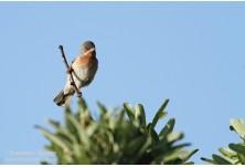 Subalpine warbler (Sylvia cantiallans)