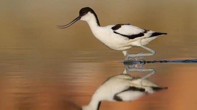 © Светослав Спасов, www.NatureImages.eu - Саблеклюн