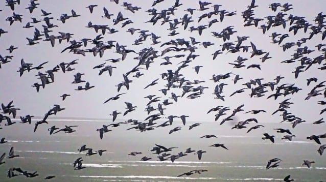 Рекордната численост на червеногуши гъски през март в страната
