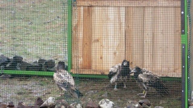 Тестват нов за България метод за подсилване на популацията на световно застрашения египетски лешояд