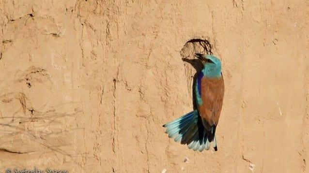 Готови са първите карти от Атласа на гнездящите птици в Европа