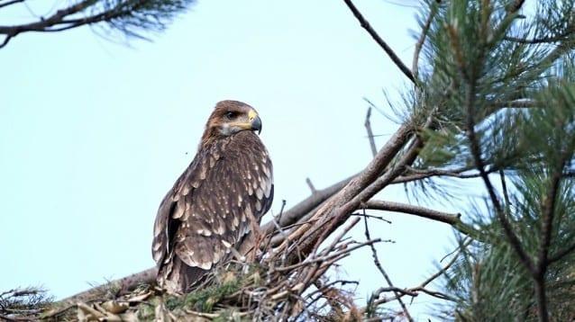 Ново изкуствено гнездо за царски орли бе поставено край Сливен