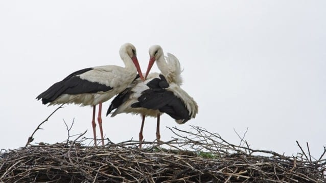 © Светослав Спасов, www.NatureImages.eu - Бял щъркел