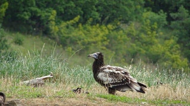 Първи полети в дивата природа на египетските лешояди от адаптационната волиера в Източни Родопи