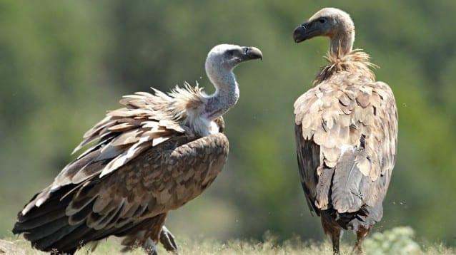 Популацията на белоглавия лешояд в Източни Родопи сред тези с най-висок гнездови успех в Европа