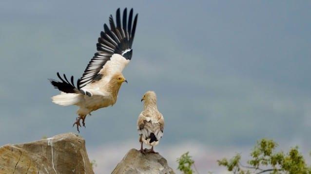 Първи резултати от гнездовия сезон на египетските лешояди в България и Гърция