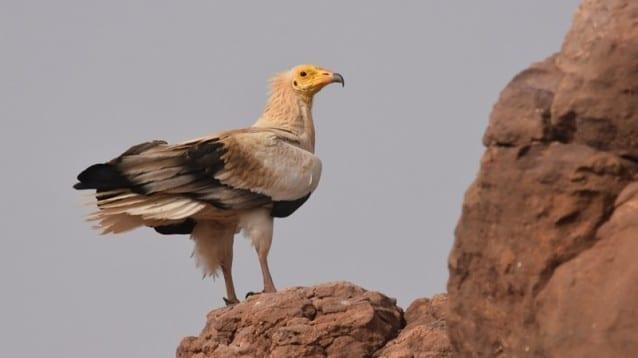 Първи данни от теренните проучвания на популацията на египетския лешояд в Нигер