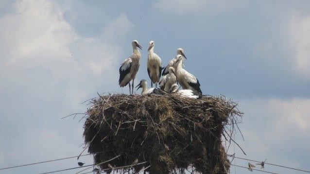 Рекорден брой щъркелчета в гнездо в село Великан
