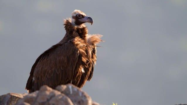 Черен лешояд от Гърция пое на пътешествие до Национален парк Централен Балкан