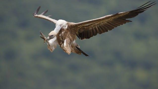 62 малки белоглави лешоядчета излетяха в Източните Родопи