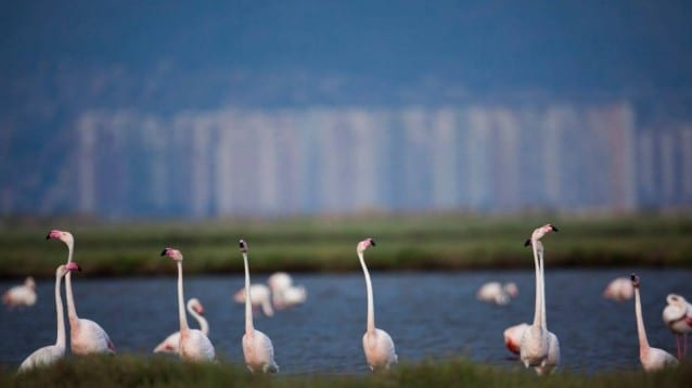 Победа за природата в Турция: важно местообитание за розовото фламинго, спасено от построяването на магистрала