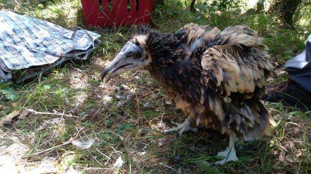Усилията за прилагане на метода за осиновяването при египетски лешояди в дивата природа продължават