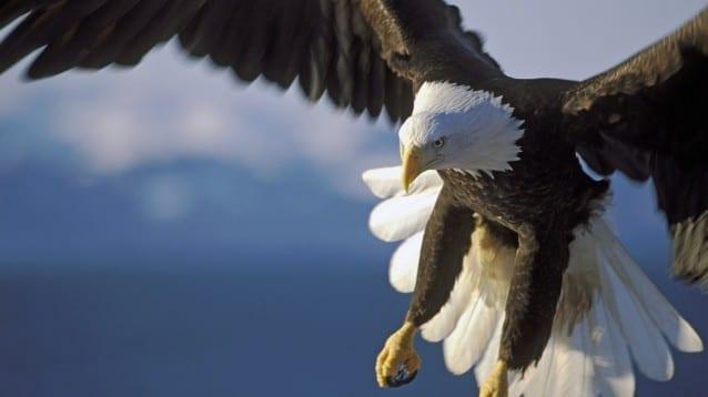 Популациите на повече от половината хищни птици в света намаляват