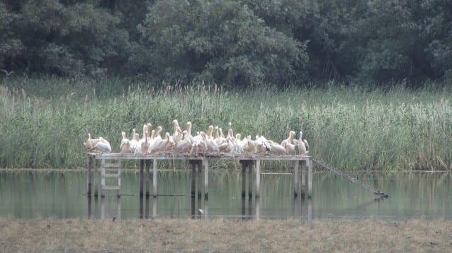 Рекорден брой къдроглави пеликани събра блатото Песчина през октомври
