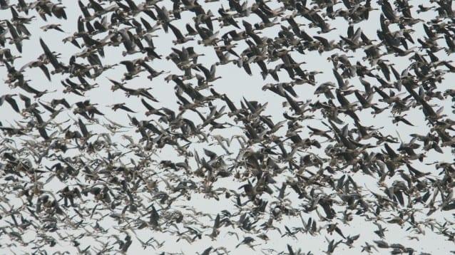 Проследяваме промените в броя на зимуващите водолюбиви птици в страната този уикенд