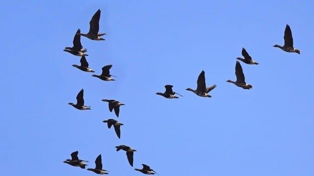 Едва стотина червеногуши гъски бяха наблюдавани у нас в последните дни на миналата година