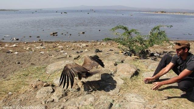 Първият маркиран със сателитен предавател египетски лешояд в Етиопия