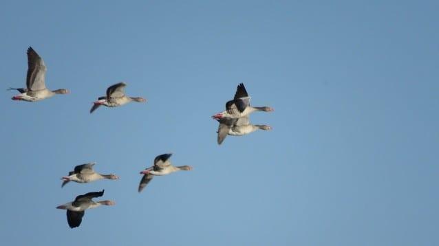 Редки и неочаквани видове птици бяха регистрирани при преброяването на зимуващите водолюбиви птици у нас