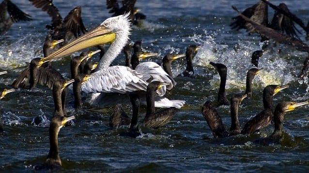 Пеликани през зимата! Къде? На Керкини