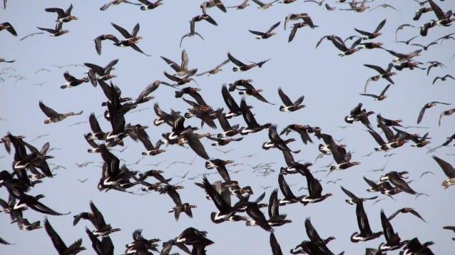 Червеногушите гъски ще могат да преминат безопасно през Калмикия тази пролет!