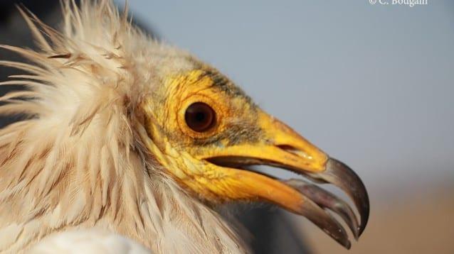 Експедиция в Етиопия разкри ценна информация за застрашения египетски лешояд