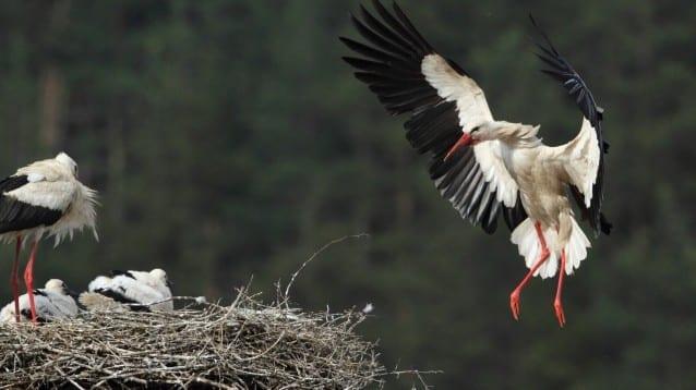 Щъркели новодомци или как се обезопасяват щъркелови гнезда, вижте от новото ни видео