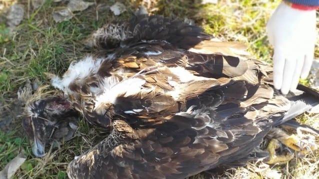 Царски орел загуби живота си в битка за гнездо и територия срещу двойка царски орли в Сакар