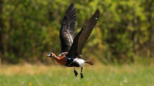 10 маркирани с GPS червеногуши гъски ще разкрият тайните на техния прелет