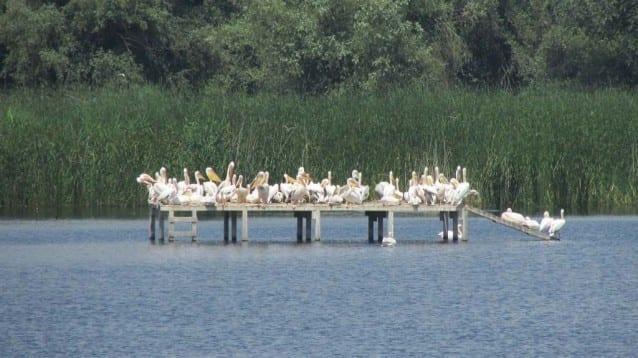 """30 малки къдроглави пеликанчета и рекорден брой двойки в новата колония на вида в Природен парк """"Персина"""""""