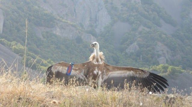 Бедстващ млад белоглав лешояд отново лети в небето над Родопите