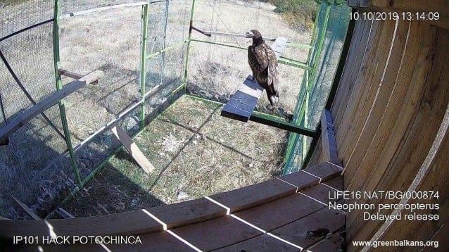 Млад морски орел, освободен в небето над Родопите