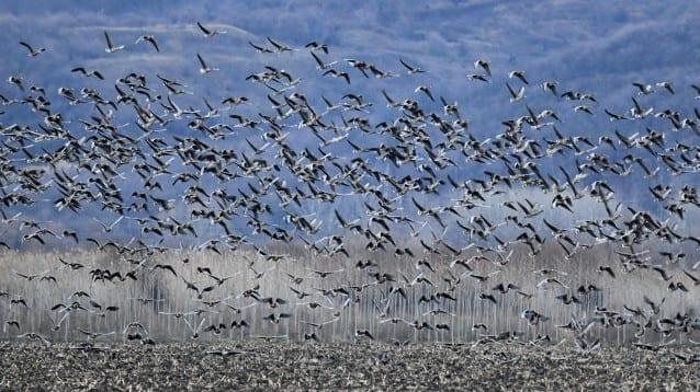 Броим зимуващите водолюбивите птици в България за 44-та поредна година