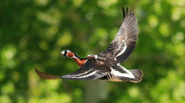 Полетът на червеногушата гъска Емилия спря край румънско село