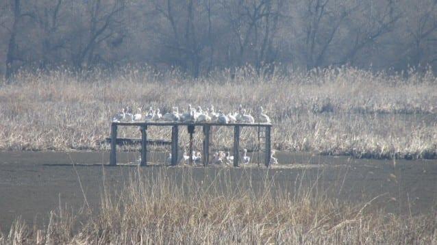50 къдроглави пеликана припознаха платформите за свой дом