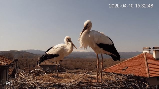 Животът на щъркеловото семейство в село Драгушиново отново в обсега на камерата
