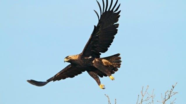 Хората в Сакар познават и ценят емблематичния царски орел