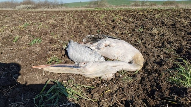17 пеликана загинаха за месец край Бургаските езера