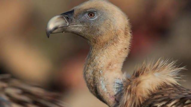 73 белоглави лешоядчета се излюпиха тази пролет в Източните Родопи