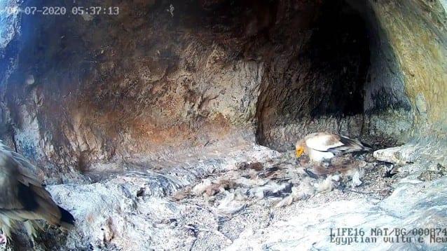 Излюпи се бебе египетски лешояд в дивото гнездо с онлайн камера в Провадия