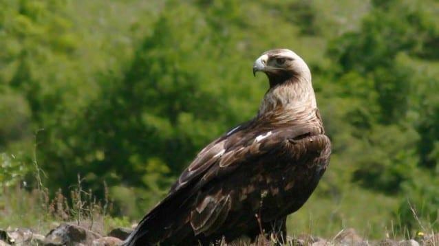 Пореден рекорд за царския орел у нас тази година