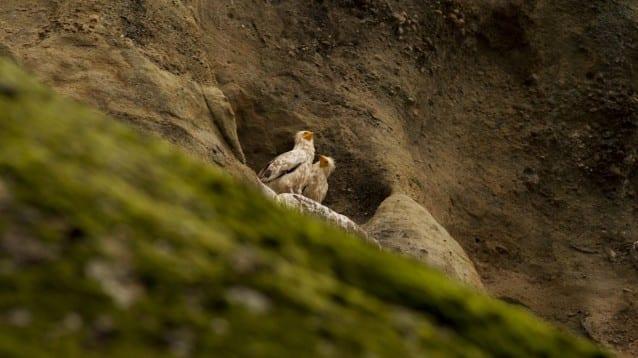 За пръв път от 13 години нова двойка египетски лешояди гнезди в Северна България