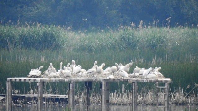 40 малки отгледаха къдроглавите пеликани в Природен парк ПЕРСИНА